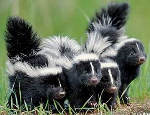 Skunks KoleBrackenridge